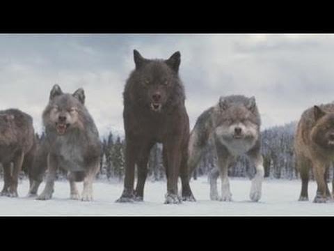 О волках людоедах