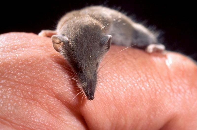 На Кавказе нашли самое маленькое в мире млекопитающее