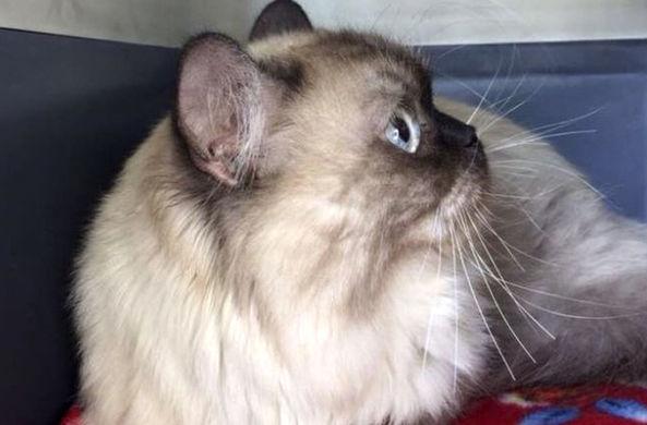 Пытавшегося остаться в Дубае кота вернули переехавшим в Англию хозяевам