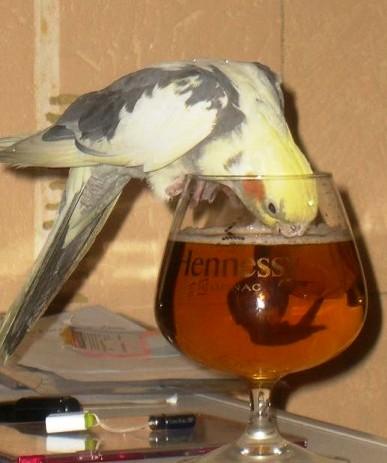 Пьющий попугай - это горе в …