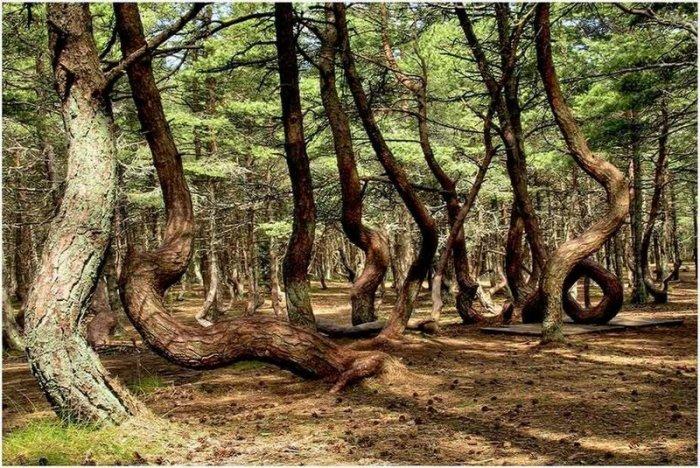 Танцующий Лес на Куршской косе: Какую тайну хранят пляшущие деревья этого аномального места?
