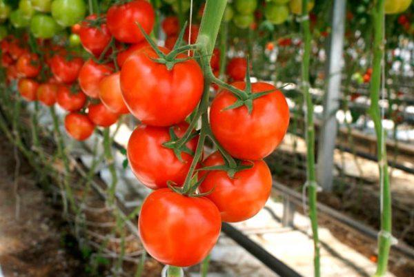 Правила выращивания тепличных помидор для начинающих