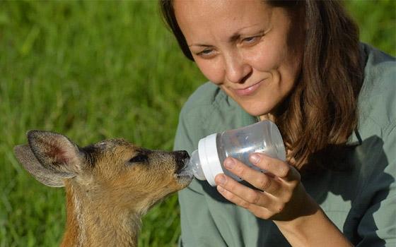 Сотрудница «Брянского леса» выкормила новорожденную косулю
