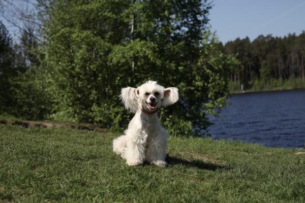 Собака Дульсинея