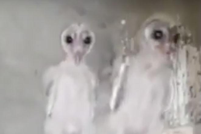Неоперившиеся совята выглядят как инопланетяне