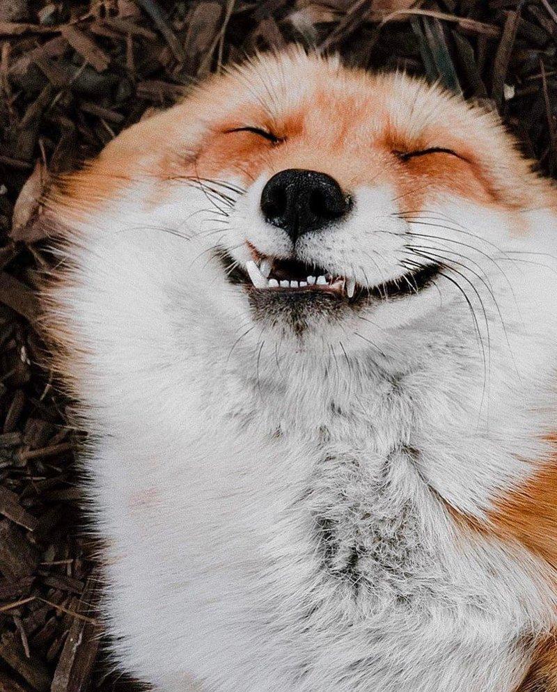 Как лиса избавляется от блох