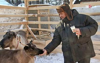 В зоопарке в Сокольниках живут два северных оленя