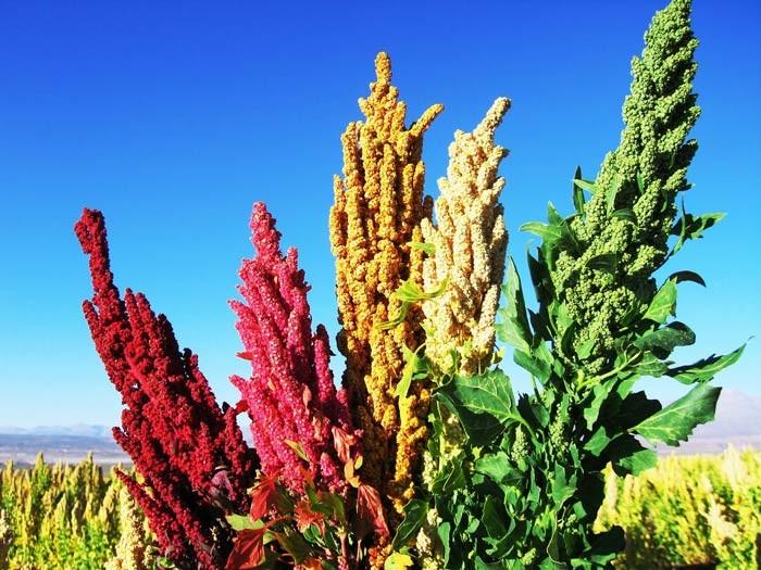 Съедобные полезные растения, которые почти никто не выращивает!