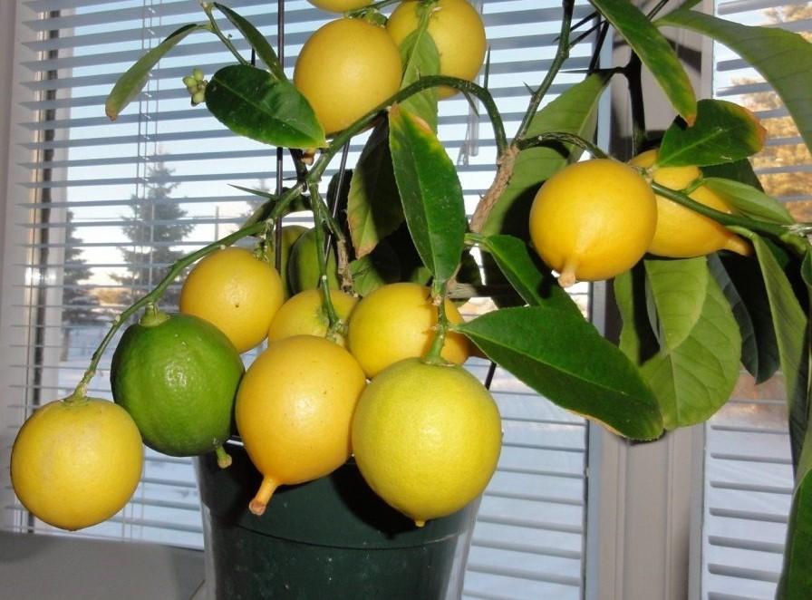 Нет зимовки – нет лимонов!