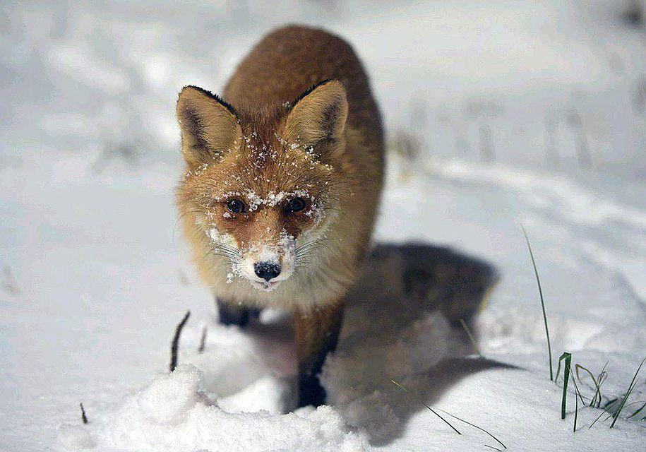 Жители Бирюлёво приютили лису