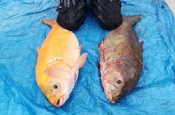 «Золотая» рыбка оказалась столетним мутантом