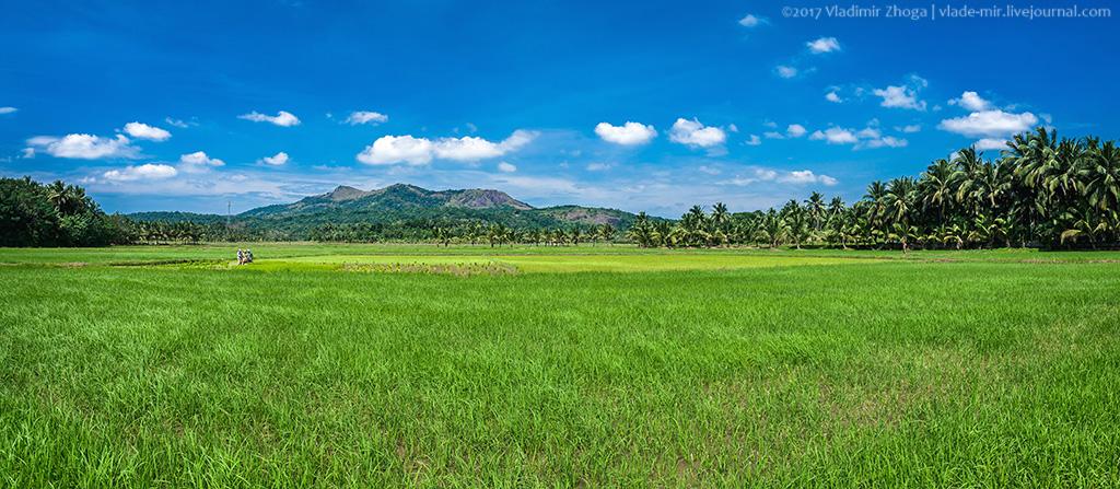 Фотозарисовки с индийских рисовых полей