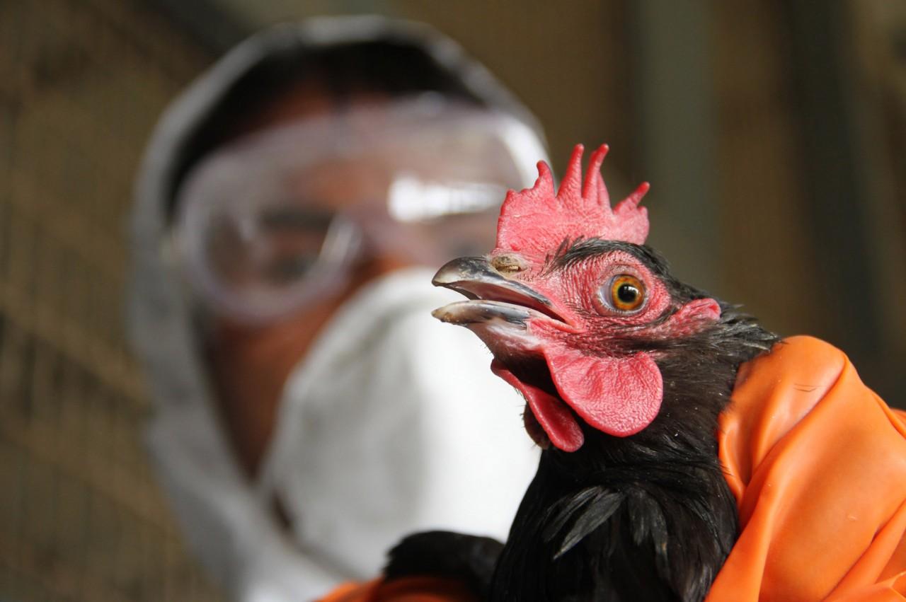 Белоруссия запретила ввоз птицы из Московской области из-за птичьего гриппа