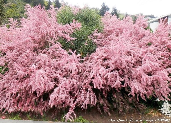 Тамарикс — морозостойкое дерево-астильба для сада