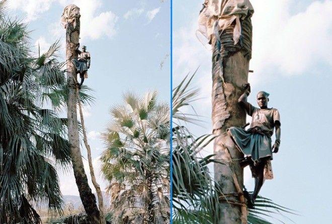 Рискуя жизнью они добывают пальмовый сок
