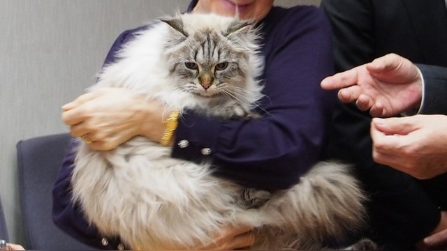 Кот, подаренный Путиным японскому губернатору, приобрел черты японца