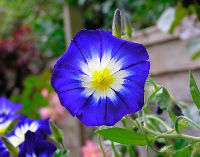 Вьюнок: выращивание из семян, посадка и уход в открытом грунте