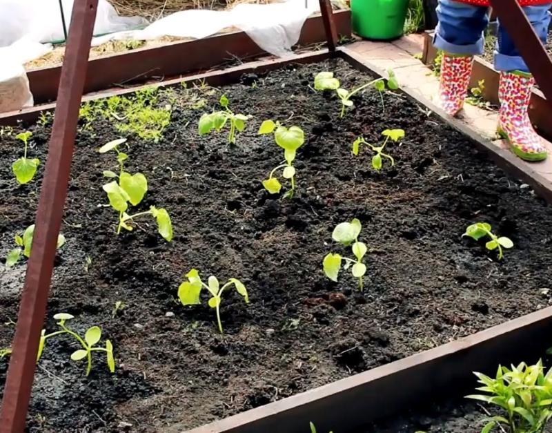 правильное выращивание огурцов в открытом грунте