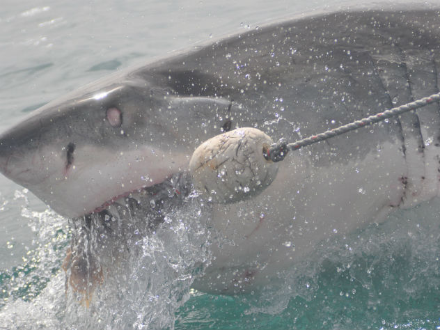 В Австралии огромная акула запрыгнула в лодку рыбака
