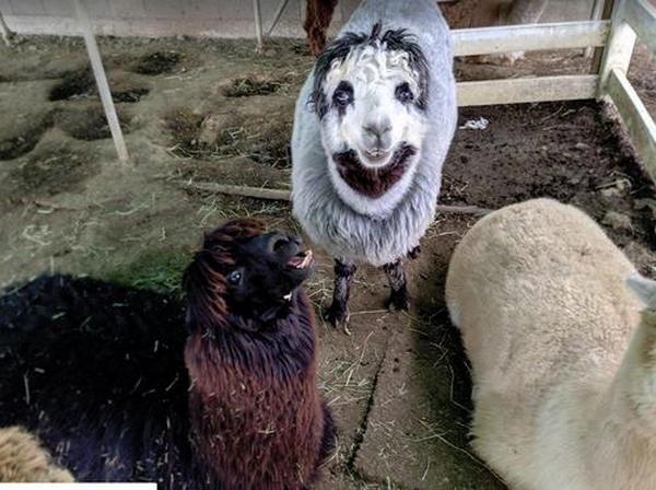 В Японии обнаружили жуткого альпаку с человеческим лицом