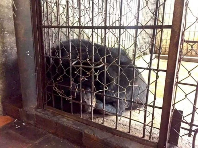 Её 11 сородичей не выдержали такой жизни… Но теперь лунная медведица Бао требует справедливости
