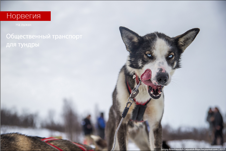 Собачий общественный транспорт в Норвегии