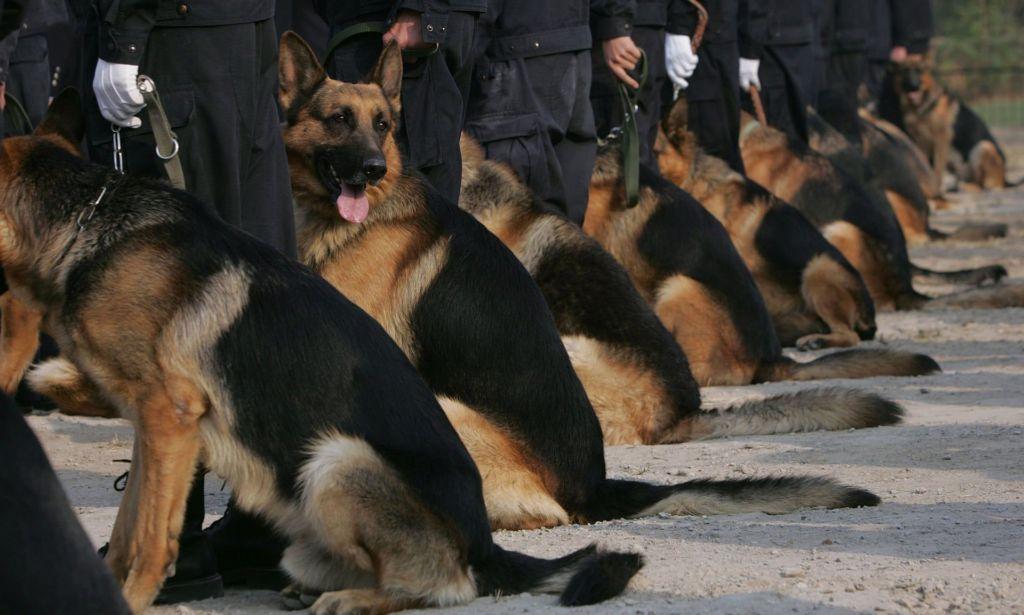 В Китае планируют клонировать полицейских собак для эффективного поиска наркотиков