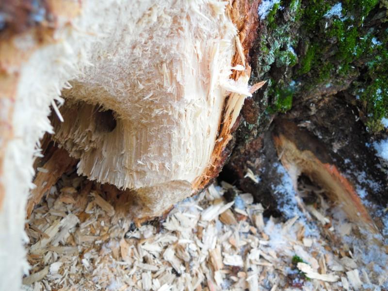 Проделки чёрного дятла woodpecker did it, дятел, дятлова работа, на дерево без слёз смотреть нельзя