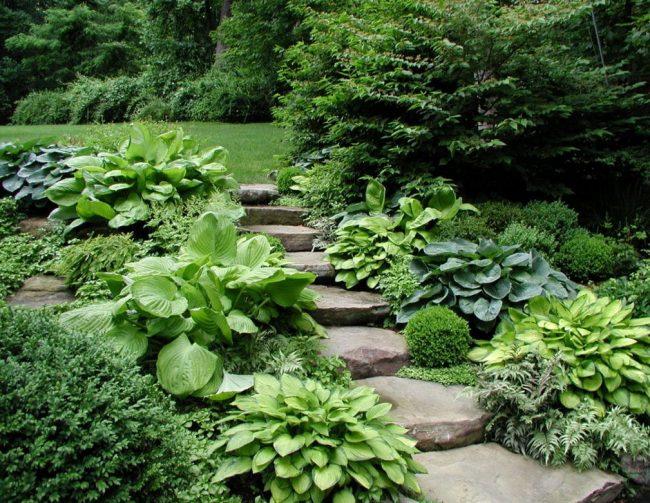 Хоста в ландшафтном дизайне: особенности ухода и гармоничные композиции для сада