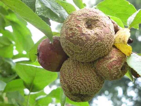 На дереве растут гнилые яблоки: в чем причина и как спасти урожай!?
