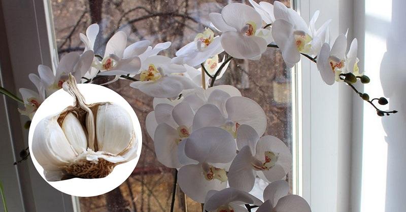Чесночная вода — спасение для орхидей!