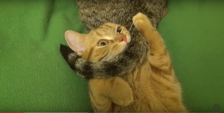 Рыжий кот борется с хвостаты…