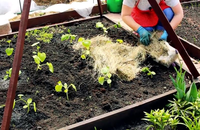 как лучше выращивать огурцов в открытом грунте