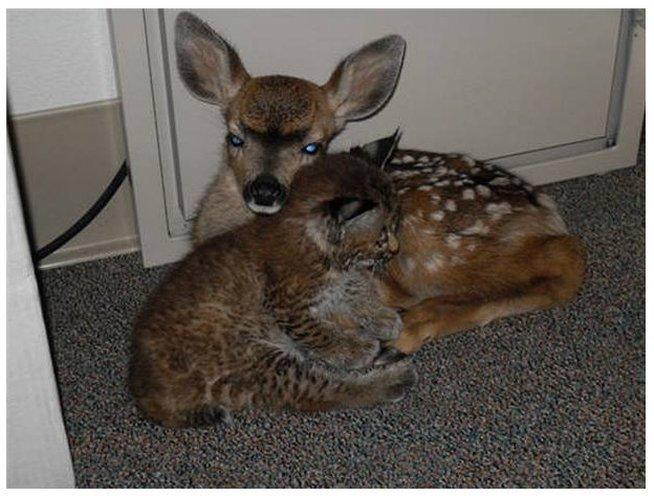 Рысь – вот это домашний котик! Дикие лесные погорельцы спят на диване и обнимаются с детьми