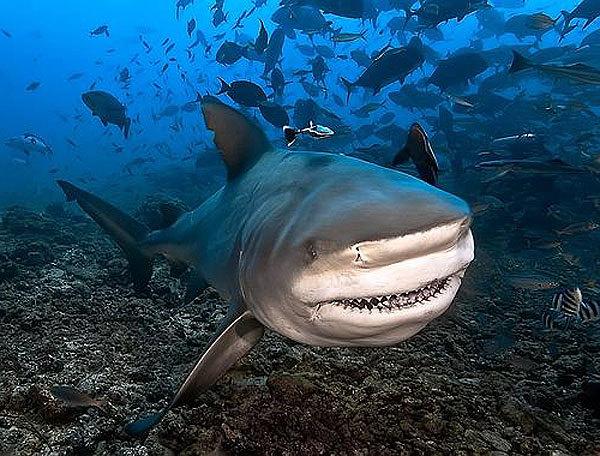 Морской бык. Бычья акула и её скверный характер