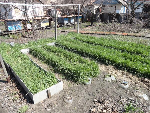 Какие сидераты сеять весной