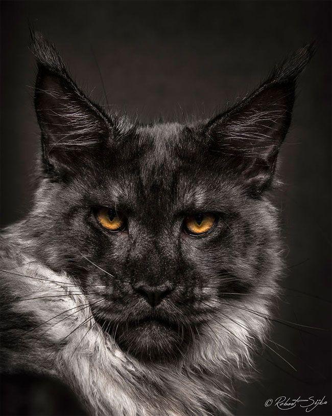 Фотограф снимает мейн-кунов так, что они выглядят как мифические существа