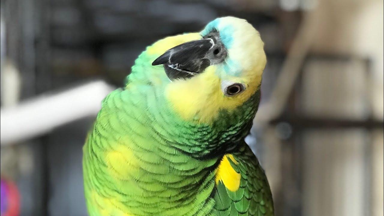 Свекрови поплохело после первых слов попугая