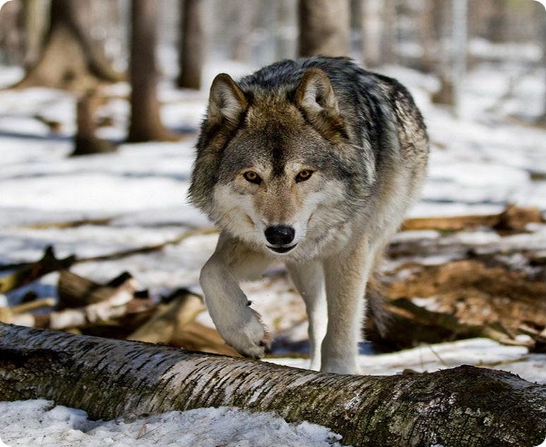Волки, обитающие на территории России