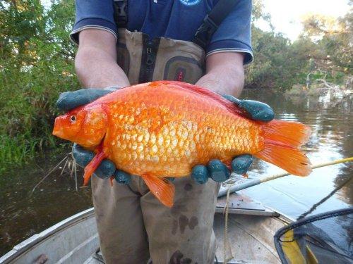 Аквариумные золотые рыбки, в…