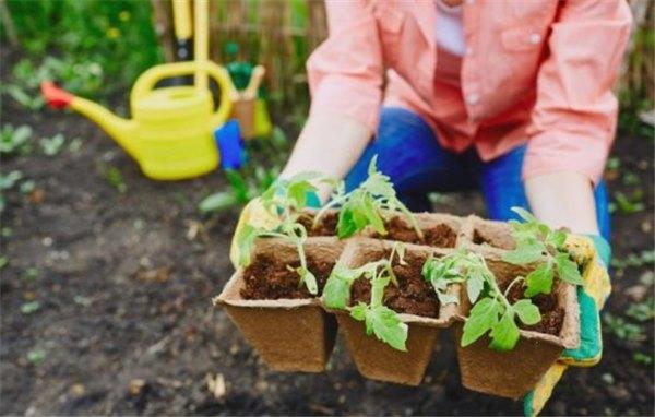 Пикировка рассады помидоров: как пикировать и что делать после пикировки. Успех пикировки помидоров – в наших руках!