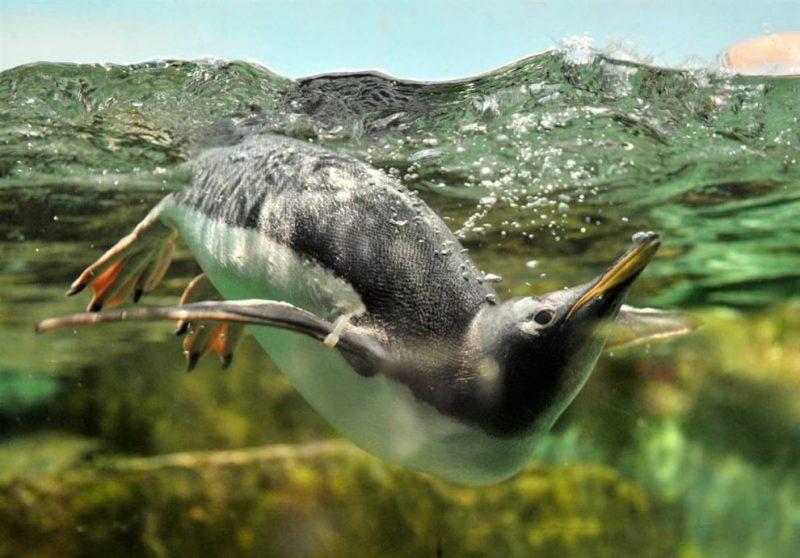 Косатки уже нагоняли несчастного пингвина, но он придумал, как спастись
