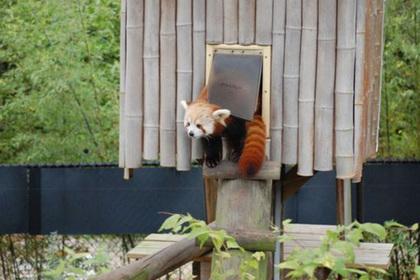 В США из зоопарка сбежала красная панда