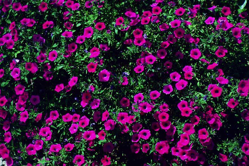 Фиолетовые петуньи на балконе