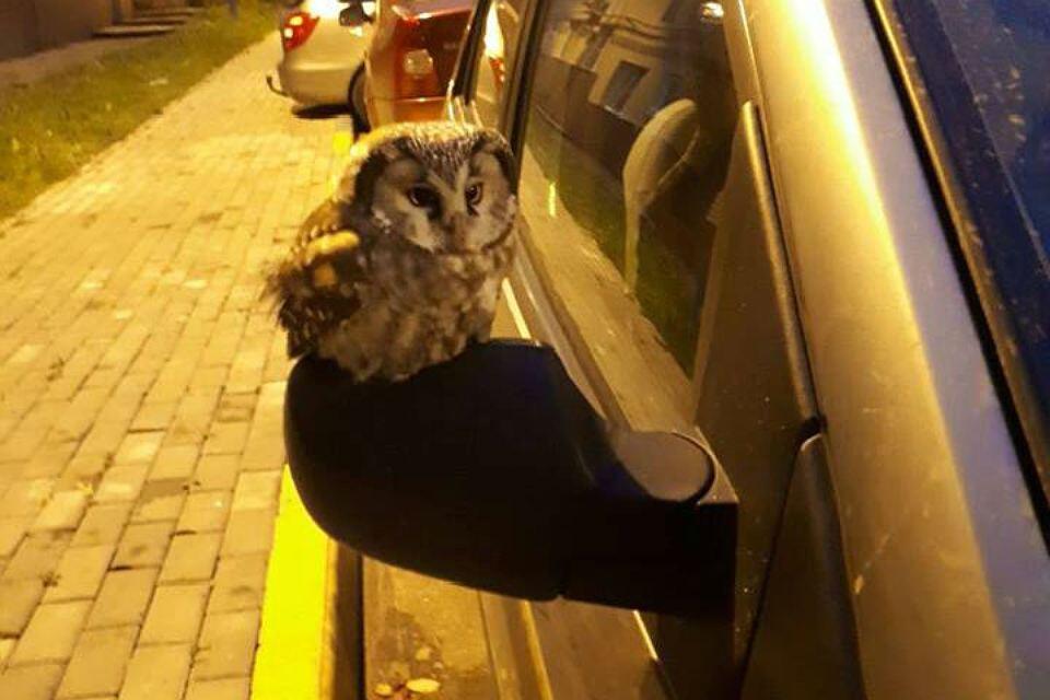 «Голодные мигранты»: В Нижний Новгород слетаются совы в поисках еды