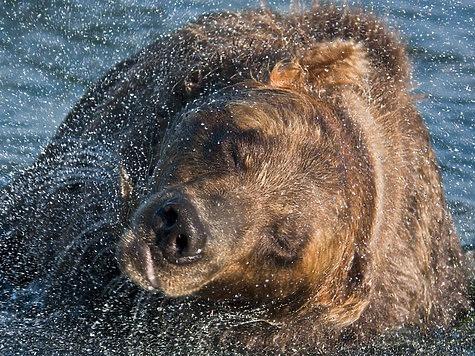 Бурый медведь при встрече с человеком
