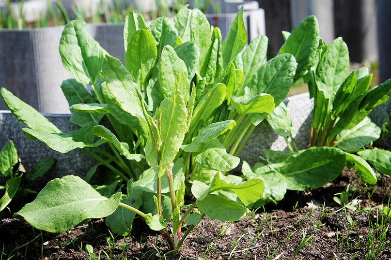Каждый огородник непременно должен посадить щавель на своем участке!