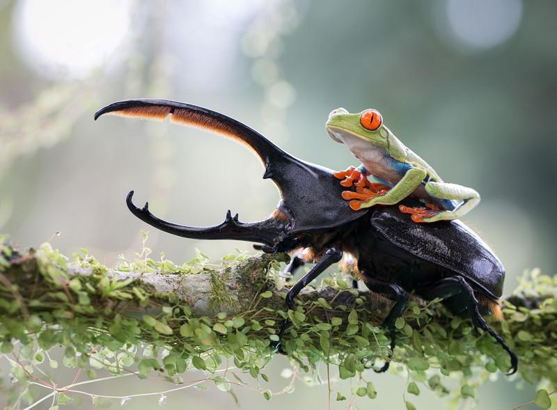 Лягушка верхом на жуке без фотошопа, фотографии, шедевры