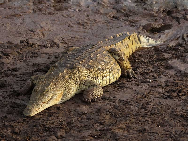 Противозачаточное: рекомендуем крокодиловый помет медицина прошлого, медицинские истории