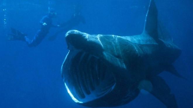 Огромная рыба поднялась с глубины и проглотила акулу на глазах дайверов